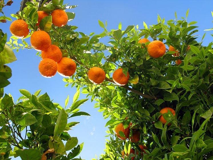 Albero di arancio