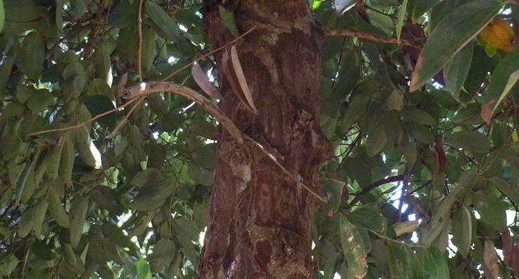 Corteccia dell'albero di cannella