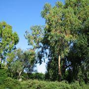 Alberi di eucalipto