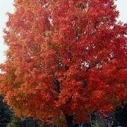 albero da cui si ricava uno sciroppo