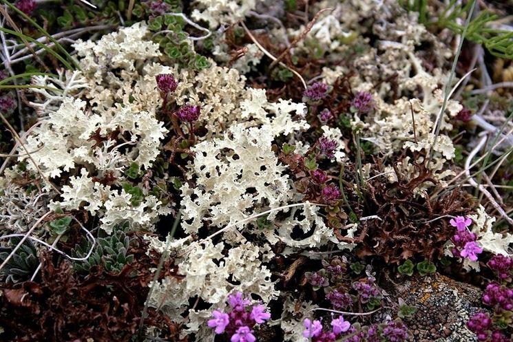 Lichene d'Islanda