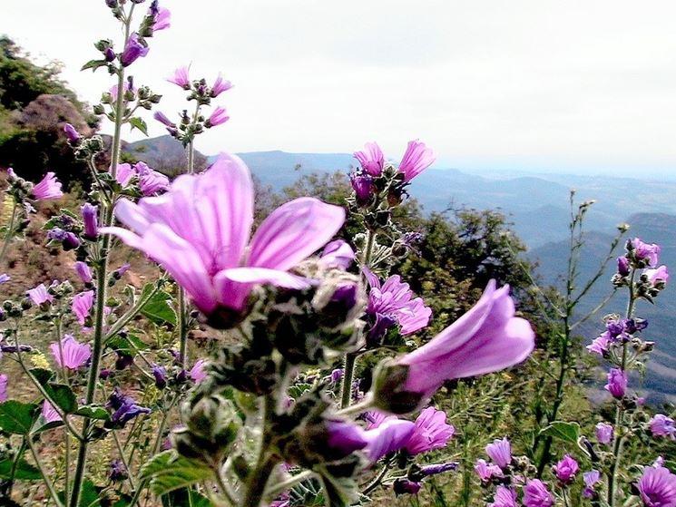 I bellissimi fiori di Malva