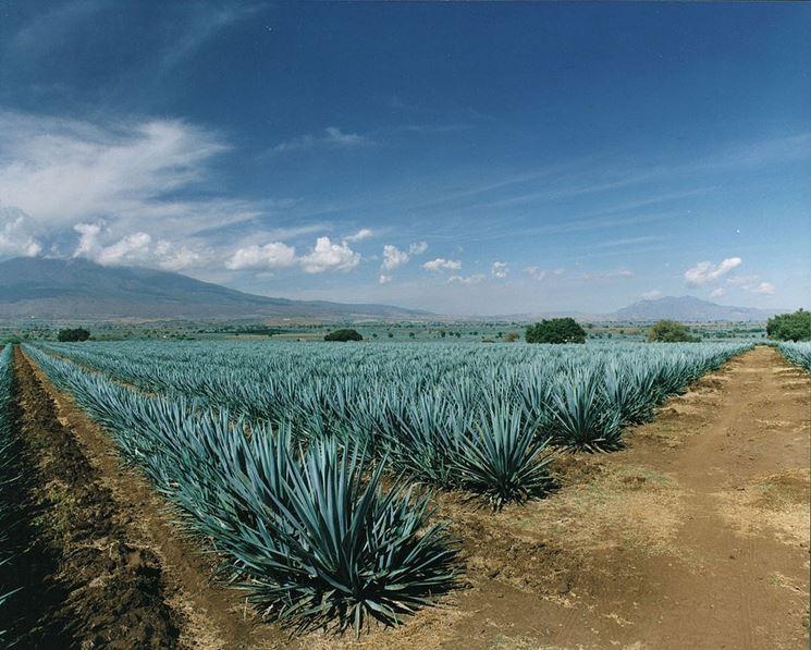 Campo coltivato ad agave blu