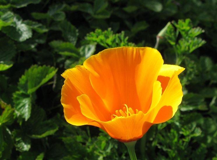 Fiore di escolzia