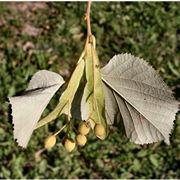 tilia tomentosa frutti