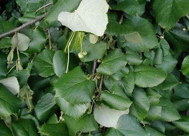 foglie di tilia tomentosa