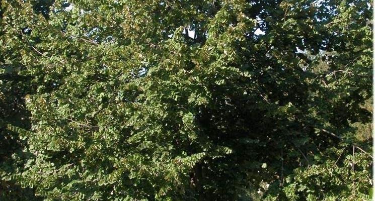 albero di tilia tomentosa