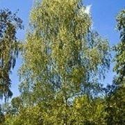 tintura madre betulla