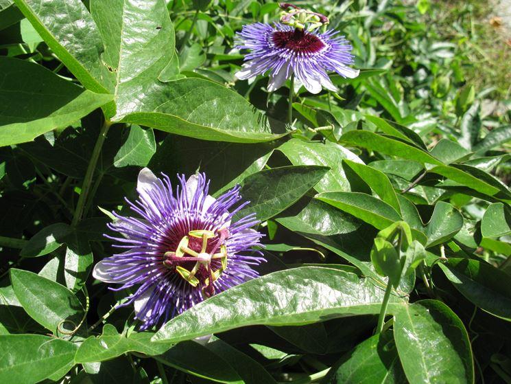 tintura madre passiflora