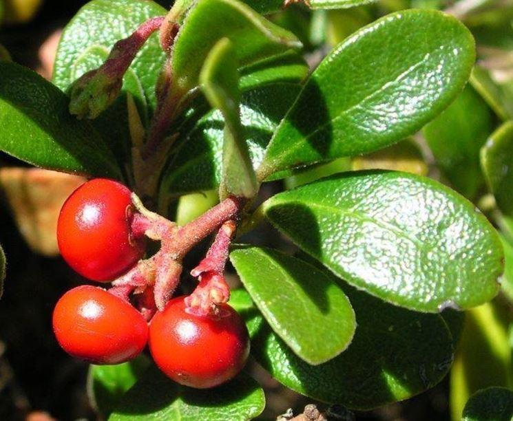 Uva ursina (Arctostaphylos uva-ursi)