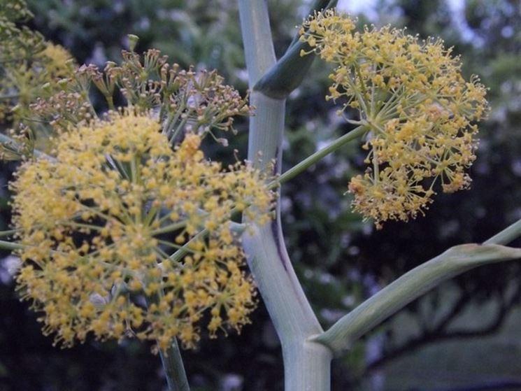 fiori di finocchio selvatico