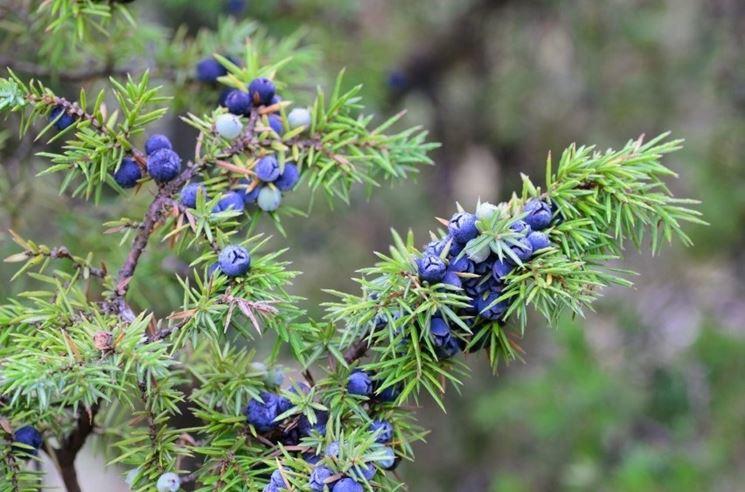 Bacche di ginepro, riconoscibili per il colore blu-violaceo
