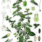 melissa pianta