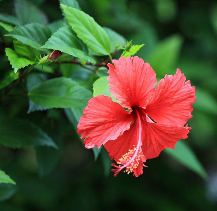 Caduta fiori ibisco domande e risposte fiori for Giardinaggio e fiori