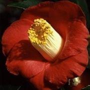 foto camelia japonica