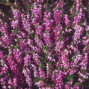 Foto calluna vulgaris