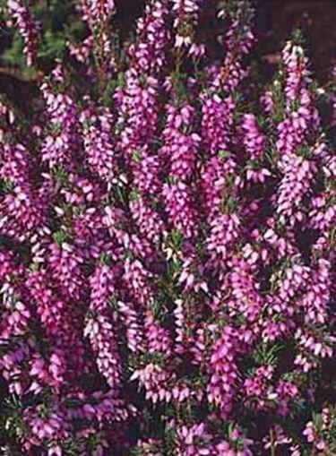Foto <em>calluna</em> vulgaris