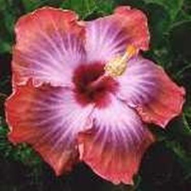 foto <strong>ibisco</strong> fiorito