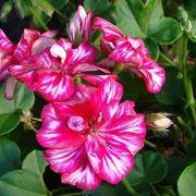 fiori gerani