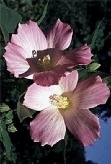 Ibisco non fiorisce domande e risposte fiori for Ibisco in inverno