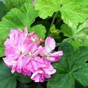 foto geranio rosa