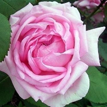 Rose in vaso domande e risposte fiori for Giardinaggio e fiori