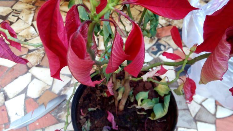 Stella Di Natale In Casa.Stella Di Natale Perde Foglie Domande E Risposte Fiori