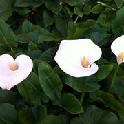 calla fiore