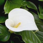 fiore calla