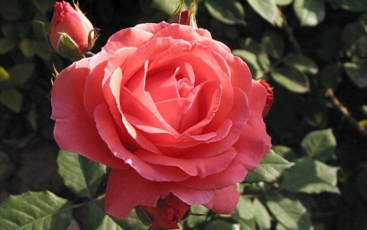 Pianta rosa cinese