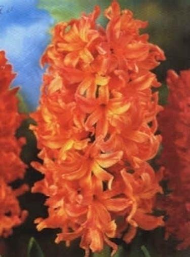Fiori giacinto fiori di piante for Fiori per balconi soleggiati