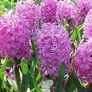 giacinti fiori