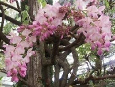 glicine rosa