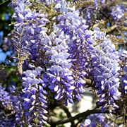 nomi di fiori viola