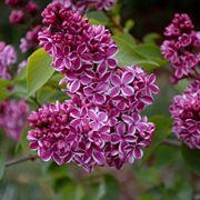 fiore lill�