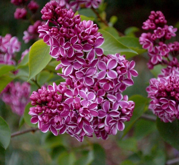 fiore lillà