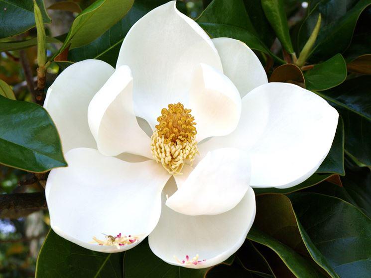 Fiori magnolia fiori di piante i fiori della magnolia for Tipi di fiori