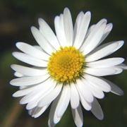 fiore simile alla rosa