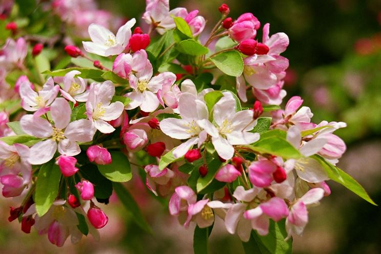 fiori melo