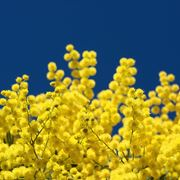 fiore mimosa