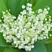 mughetto fiore