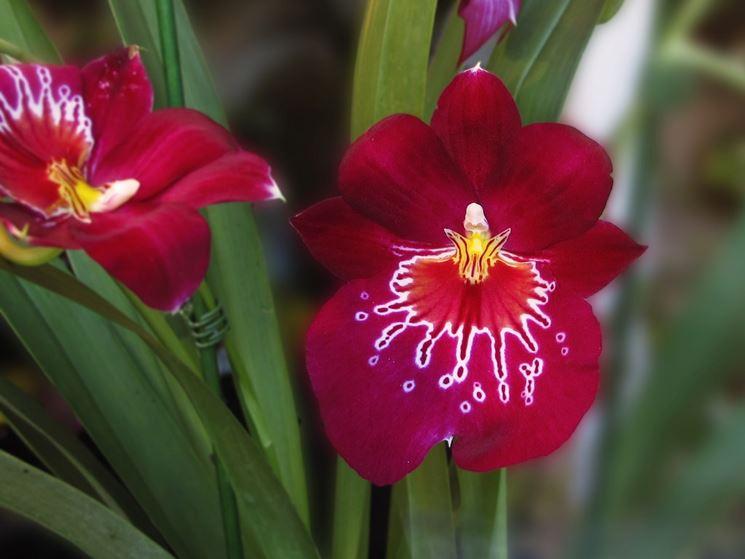 orchidea miltonia