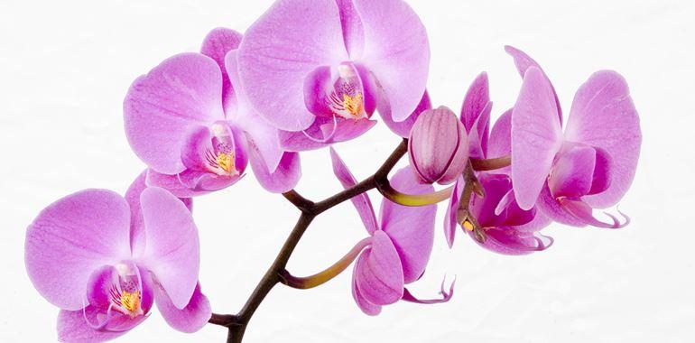 <h6>Fiori orchidea</h6>descriveremo i fiori dell'orchidea e le loro caratteristiche