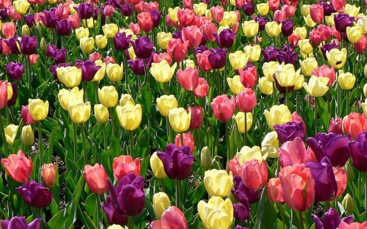 Gigli narcisi tulipani