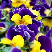 immagini di fiori primaverili