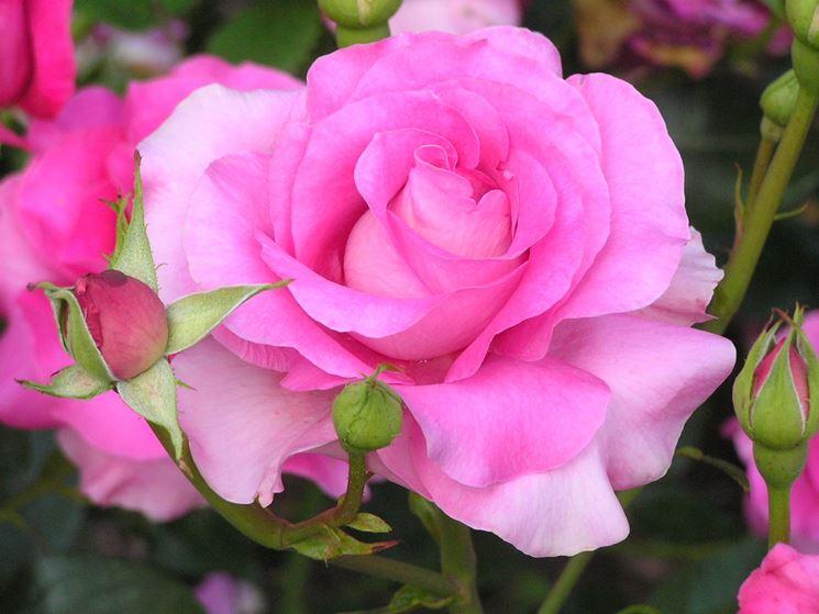 Molto Fiori rosa - fiori di piante - Caratteristiche dei fiori della rosa IU84