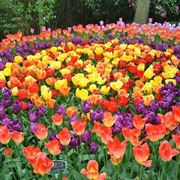 fiori tulipani