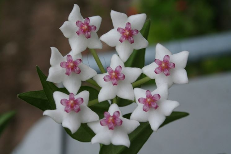 Hoya carnosa fioritura