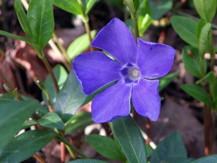 Fiore pervinca