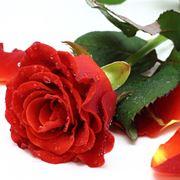 petali rose rosse